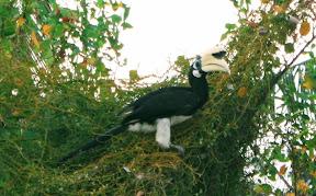 Wild Hornbill on Koh Ngai
