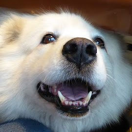 Bela by Anica Mazura - Animals - Dogs Portraits ( bela, white, dog, frend, lowing )