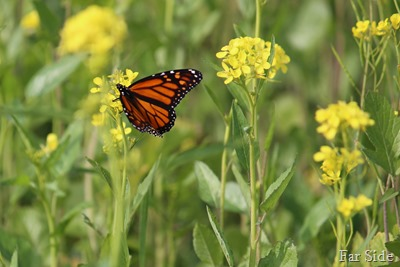 Monarch in the Mustard