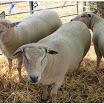 Sheep05.jpg
