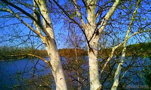 3. White birch tree 5-8-15