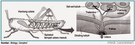 sistem pernapasan pada belalang