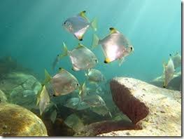 be-ca-canh-silver_batfish_silver_moony_cachimdoibac002-be-thuy-sinh