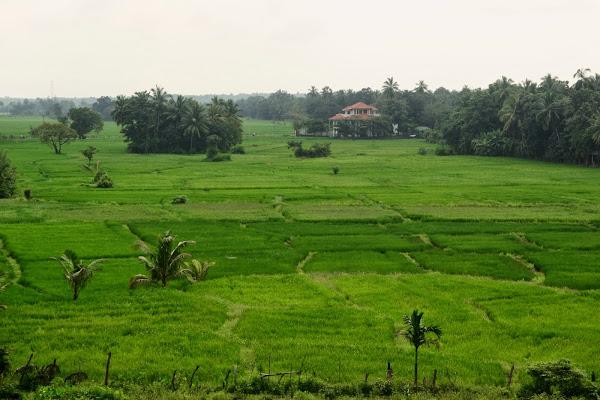 Зеленые поля, Шри Ланка