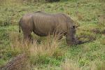White (square-lipped) rhinoceros at iSimangaliso Wetland Park