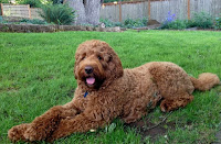 Sire is Tank from Evergreen Manor Labradoodles in Oregon.