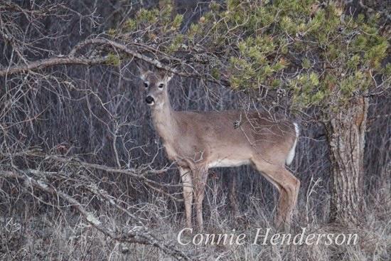 Deer April 22