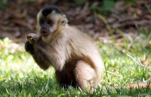 Macaco Prego, fonte: Blog Campos Salles