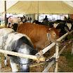 cattle17.jpg