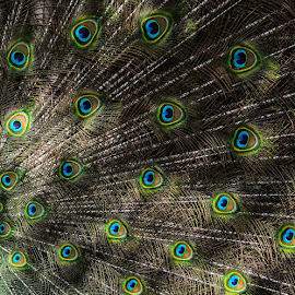 Peacock pattern by Garry Chisholm - Abstract Patterns ( bird, garry chisholm, nature, plumage, feather, peacock )