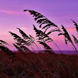 Evening Sea Oats Scene 2016 by Matthew Beziat - Nature Up Close Other plants ( jensen beach, sunshine state, florida sea oats, florida beach plants, treasure coast, beach plants, atlantic ocean, twilight, dusk, uniola paniculata, florida beaches, florida sunsets, hutchinson island, sea oat, florida evenings, florida, sea oats, dollman park beachside )