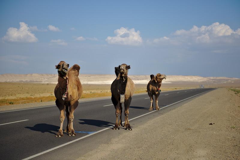Camilele put, put tare si put de la distanta. E genul de miros pe care il simti in aer inainte de a vedea camila la cateva sute de metri in dreapta drumului. Aici frumosii astia ocupasera drumul.