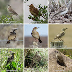 "Larks and pipits of South Africa. We saw 17 species of larks and 6 species of pipits. Some members of my group were referring to them as ""50 Shades of Brown"". I didn't want to post that many photos of brown birds, so you get a collage XD"