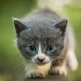 Kitty by Voicu Iulian - Animals - Cats Kittens