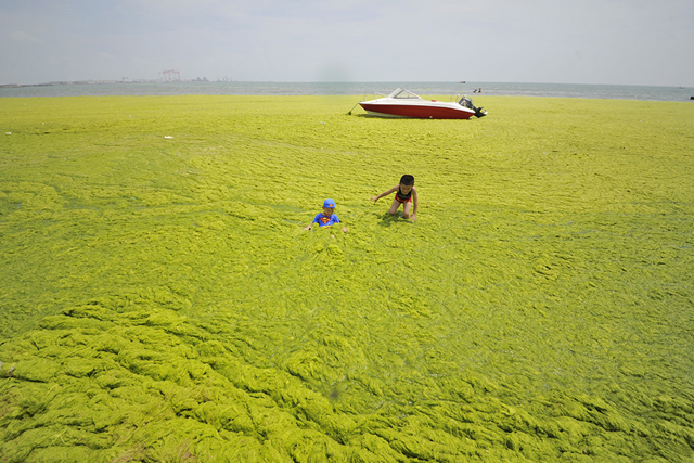 Children play in a carpet of algae covering a beach in Haiyang, Shandong province, 28 June 2015. Photo: Reuters