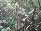 A ring tailed lemur at the Nashville Zoo 09032011