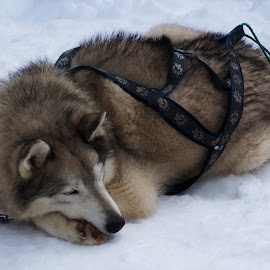Sled Dogs by Sarah Harding - Novices Only Pets ( pet, outdoors, novices only, dog, animal )