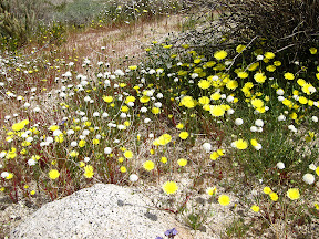 Desert Dandelions (yellow) and Desert Pincushion (white) blanket Indian valley