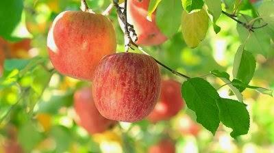 Sunrise Apple Tree Jpg Apples.jpg Apple-tree.jpg
