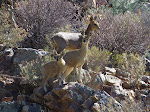 Klipspringer (photo by Clare) - tiny little antelope that stand on the tippy toes of their hooves!