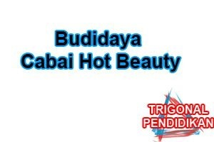 Budidaya Cabai Hot Beauty