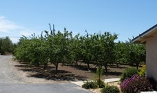 Uncle Jim and Aunt Mary's Almond Orchard