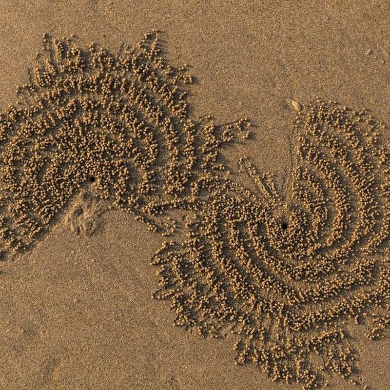 Nature's Sand Artist: Sand Bubbler Crab