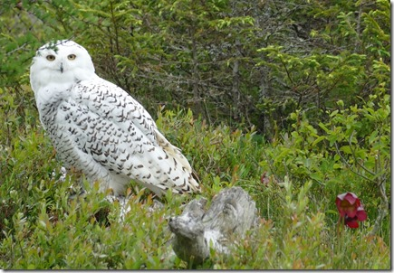 nl_argentia_salmonier_snowy_owl