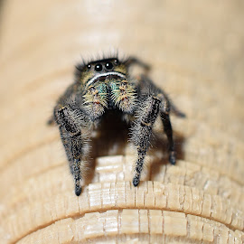 Spider Macro by Ed Hanson - Animals Insects & Spiders ( macro, fuzzy, green, spider, black, eyes )