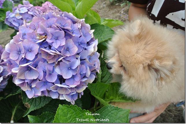 陽明山繡球花 (23)