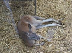2007.08.09-025 kangourou roux