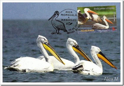 Pelicanul-cret-2_AF-tomis