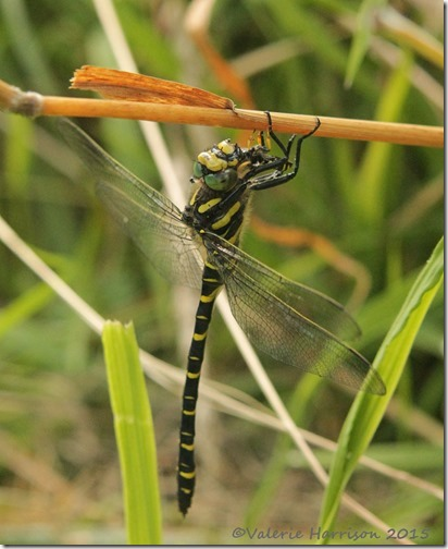 2-Golden-ringed-Dragonfly