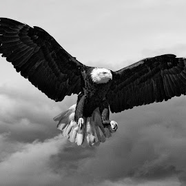 American Bald Eagle by John Phielix - Black & White Animals