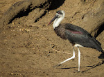 Woolly-necked stork (photo by Clare) - Mkhuze Game Reserve
