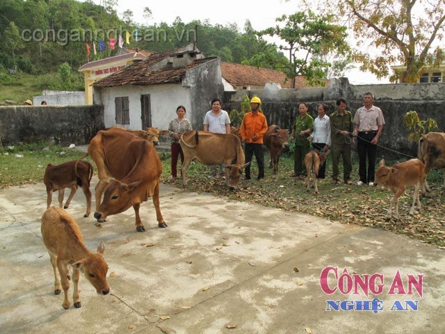 Công an TX Hoàng Mai trao trả số bò bị bắt trộm cho nhân dân