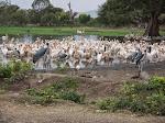 Great white pelicans, marabou storks, hamerkop, African sacred ibis