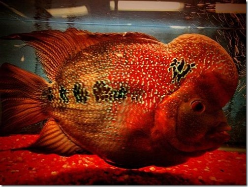 be-ca-canh-flowerhorn_calahan-be-thuy-sinh