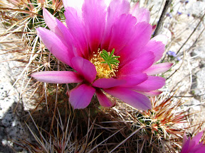 Macro view of blooming Hedgehog Cactus