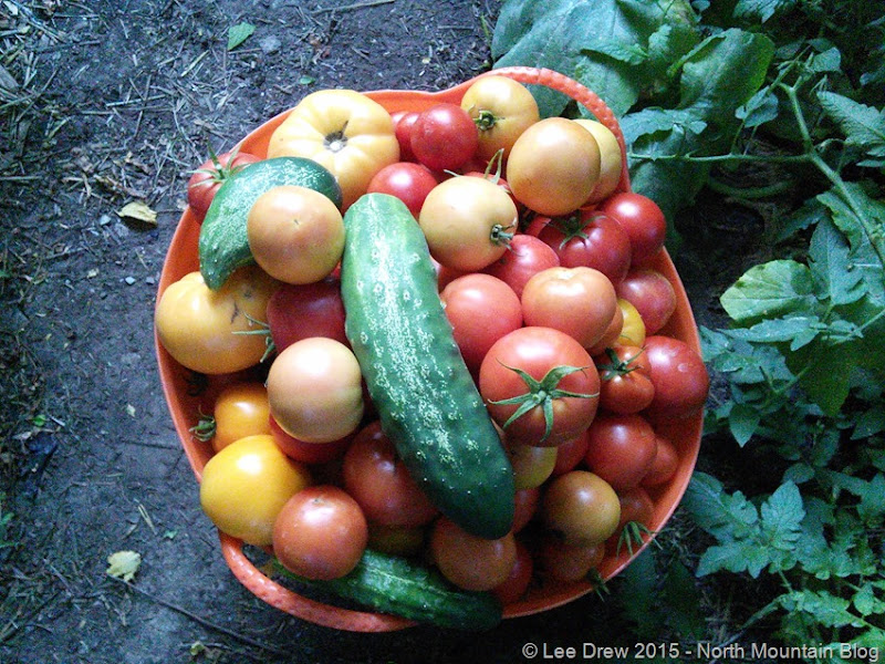 Full Basket of Tomatoes 8 September 2015