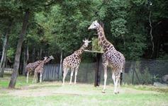 1990.09.21-092.06 girafes