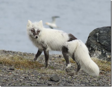 nl_sa_cape_norman_artic_fox