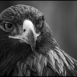 Golden Eagle by Dave Lipchen - Black & White Animals ( golden eagle )