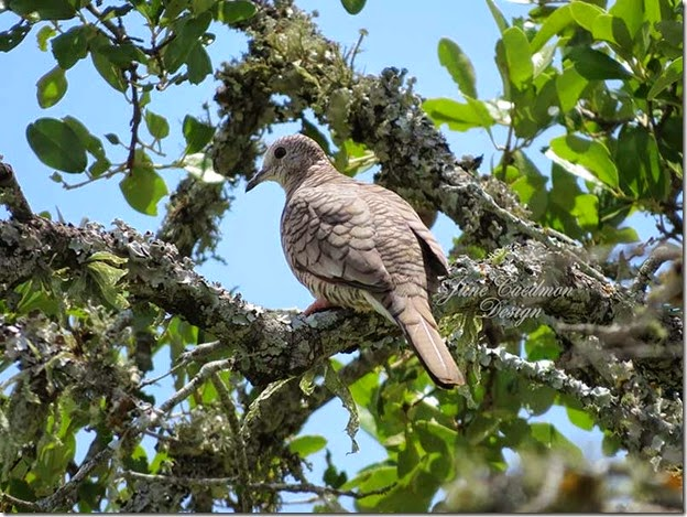 Inca_Dove