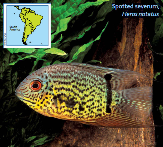 Image of Spotted severum, Heros notatus