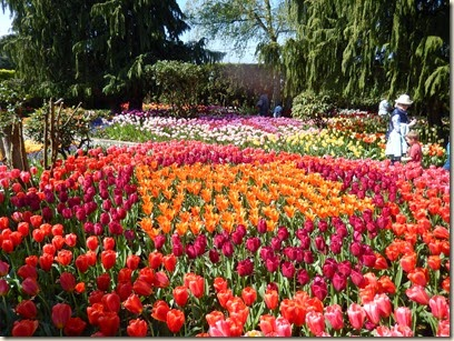 4-17 Tulips 16