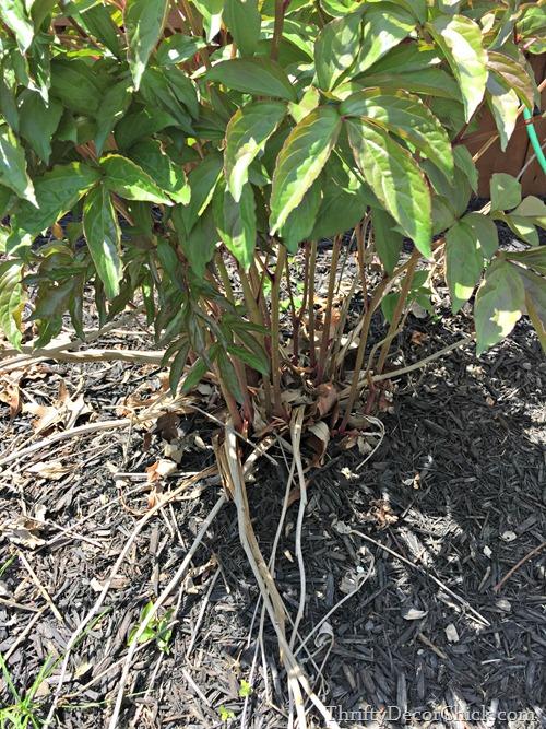 pruning peony