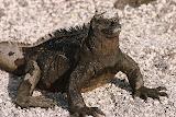 Iguana - Fernandina Island
