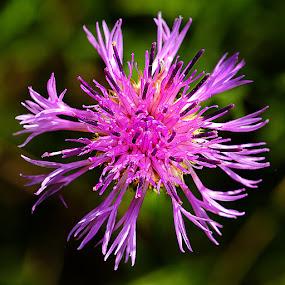 Centaurée sauvage by Gérard CHATENET - Flowers Single Flower