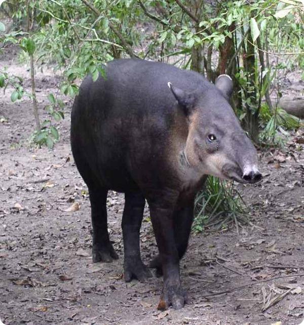 Tapir-Belize20